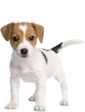 cachorros-jack-russell-terrier-01-b